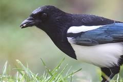 Elster/ Magpie (reipa59) Tags: futter futtersuche natur rabenvögel vogel magpie elster ransweiler rheinlandpfalz