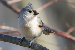Tufted Titmouse 12-28-2017 (Scott Alan McClurg) Tags: animalia aves bbicolor baeolophus chordata neoaves neognathae neornithes paridae passeri passerida passeriformes animal bird bokeh flickrbirds forest green life nature naturephotography perch perching portrait songbird suburbs titmouse tree tufted tuftedtitmouse wild wildlife winter yard