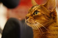 Lizzie (DizzieMizzieLizzie) Tags: abyssinian aby beautiful wonderful lizzie dizziemizzielizzie portrait cat chats feline gato gatto katt katze katzen kot meow pisica sony animal pet 2017 cute bed siesta yellow neko macska kedi 猫 kočka kissa γάτα köttur kucing kaķis katė кошка mačka gatos kitteh chat ネコ beauty a6500 zeiss fe 55mm f18 za ilce6500 ilce sel55f18z sonnar awesome digital golden style