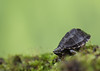 Musk Turtle (ToriAndrewsPhotography) Tags: musk turtle reptile macro close up green bokeh moss photography andrews tori