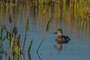 All alone... (Carol Huffman) Tags: birds ducks ringneckedduck vierawetlands fl florida wildlife wetlands