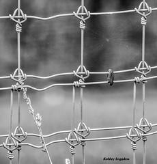 Spiderweb_DSC8952 (kellogs621) Tags: ohio oh thewilds spiderwebs blackandwhite monochrome