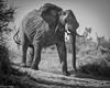 Botswana Elephant (Dean OM) Tags: botswana kalahari elephant bull boteti river animal nature giant