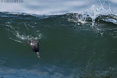 Horned Grebe inside breaking wave (Gregory Lis) Tags: hornedgrebe podicepsauritus gorylis gregorylis grzegorzlis nikond810 nikon grebe
