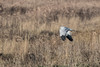 A rare sight (Tim Melling) Tags: circus cyaneus male hen harrier cheshire timmelling