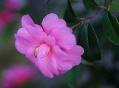 Kamelie (LuckyMeyer) Tags: pink rosa green flower fleur blüte blume makro botanical garden kamelie camellia