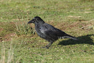 IMGP1636 Carrion Crow, RSPB Sandy, December 2017