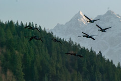 Canadian Geese flying (red-wing) Tags: flying bird birds landing mountain trees forest brantacanadensis canada britishcolumbia harrisonhotsprings nine tree sky white