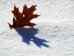 An oak leaf at Richmond Landing in Ottawa, Ontario (Ullysses) Tags: richmondlanding ottawa ontario canada autumn automne snow neige oakleaf