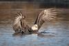 Splashdown !!!  -  Explore (alicecahill) Tags: california usa baldeagle atascadero sanluisobispocounty bird centralcoast wild eagle ©alicecahill atascaderolake