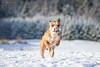2017-12-18 (4) (annamarias.) Tags: winter wonderland snow sun beautiful dog pet american pit bull terrier pitbull staffordshire strong muscular fun blast happy