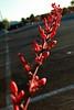 Red Yucca at Sunset w 1 of 6 (time_anchor) Tags: redflowers red yucca redyucca redyuccaatsunset sunsetphotography desertplants xeriscapingdesertgardeninng landscaping inflorescence hesperaloeparviflora samandoque succulents droughttolerantplants coralyucca agaveceaeheperaloeparviflora centuryplant