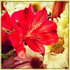 Flowers. #florida #family #holiday #iphone #iPhone365 #iPhoneography #iPhone7plus #iPhone #iPhonemacro #macro ##flower #flowersofinstagram (Kindle Girl) Tags: iphone7plus florida family holiday iphone iphone365 iphoneography iphonemacro macro flower flowersofinstagram