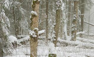 Pyrrhula pyrrhula (Juodagalvė sniegena, Bullfinch)