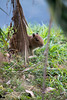 Capivara (Johnny Photofucker) Tags: pampulha capivara bicho animal animale filhote cub 70200mm lagoa minasgerais mg brasil brazil brasile lightroom fauna museudapampulha map belohorizonte bh cucciolo