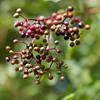 17_08_spaziergang_5475 (kako_foto) Tags: hollunder busch früchte erntezeit