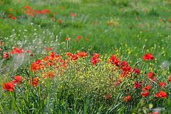 Papaveri (roibenedetti) Tags: primavera papaveri d500 terni campi fiori