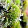 Moss Drops (Antje_Neufing) Tags: moos tropfen grün nass regen moss drop flechte fuji x10