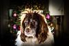 Will someone get me a comb ! (TrevKerr) Tags: dog portrait englishspringerspaniel spaniel nikon d3s hair sb900 yongnuoyn685