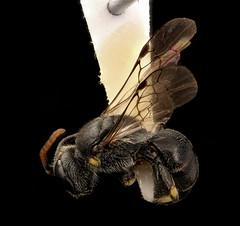 Hylaeus sparsus, m, left side, Senandoah, VA_2017-06-17-15.17 (Sam Droege) Tags: zerenestacker stackshot geologicalsurvey unitedstatesgeologicalsurvey departmentoftheinterior droege biml beeinventoryandmonitoringlaboratory bug bugs canon closeup macro insect patuxentwildliferesearchcenter pwrc usgs dofstacking stacking entomologist canonmpe65 taxonomy:binomial=hylaeussparsus animals animal bee bees apoidea hymenoptera pollinator nativebee entomology macrophotography maskedbee sydneyprice jessicaryyken shenandoahnationalpark shen nationalpark park