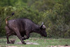 .... and then have to resort to this! (3 of 3) (Willievs) Tags: buffalo african wildlife krugernationalpark