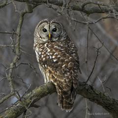 Looking Behind! (jackalope22) Tags: owl barred who wyth