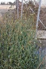 Bidens sp. (esta_ahi) Tags: lagranada bidens asteraceae compositae flor flora flores penedès barcelona spain españa испания white