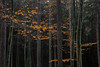Orange symphony (ralfkai41) Tags: autumn kontraste herbst nature autumnforest outdoor wald natur bäume woodlands herbstblätter autumnleafs forest autumncolours contrasts herbstwald herbstfarben trees woods