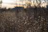 Winter Field (Captured Heart) Tags: field driedflowers driedgrass seasonschange goldenlight