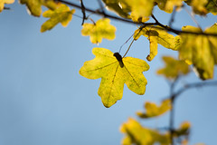 Yellow (Future-Echoes) Tags: 4star 2017 bokeh depthoffield dof essex leaf leaves veins whetmead witham yellow