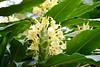 Hemercallis middendorffii  -- a lily in flower 0861 (Tangled Bank) Tags: sarahpdukegardens durhamnorthcarolinaplantflorabotanybotanicalgardenplants
