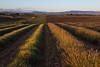 The Division Line (MrBlackSun) Tags: lavender landscape lavande scenery provence france valensole sunset nikon nikond810 d810 golden goldenlight