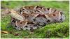 Fer-de-lance / Víbora o Serpiente de Terciopelo, Equis o Barba Amarilla (Panama Birds & Wildlife Photos) Tags: reptile reptiles reptíl reptil reptíles culebra serpiente pitviper bothrops snake viper víbora wildlife wildlifephotography conservation
