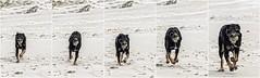 Clif running (Marcel Kramer K5) Tags: clif dog beach strand ball pentax marcelkramer running fast
