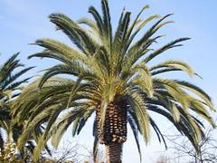 DSCN2631 (earthdog) Tags: 2017 nikon coolpix s7000 nikoncoolpixs7000 needstags needstitle tree palmtree palm sanjose