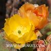 Opuntia cantabrigiensis-4 (SUBENUIX) Tags: cactaceaeopuntias opuntiacantabrigiensis suculentas subenuix subenuixcom planta suculent suculenta botanic botanical