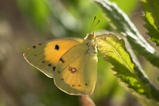 Colias (Pieridae)