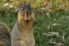 Squirrel, Morton Arboretum. 417 (EOS) (Mega-Magpie) Tags: canon eos 60d nature wildlife squirrel cute hungry the morton arboretum lisle dupage il illinois usa america