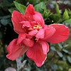 Dewy red Hibiscus and drop covered pink undersides (jungle mama) Tags: hibiscus dew red stamen frost tropicalshrub ngc npc fabuleuse