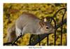 A squirrel in London (ophéliebayart-devulder) Tags: squirrel écureuil nature nikon nikond5200