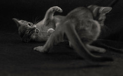 Motion Kittens 49 (peter_hasselbom) Tags: cat cats kitten kittens abyssinian 10weeksold play playfight playing game hunt fight naturallight bw blackandwhite 50mm 2cats twocats 2kittens twokittens motionblur