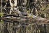 (DFChurch) Tags: sixmilecypressslough fortmyers alligatormississippiensis nature reptile wild wildlife swamp water reflection florida