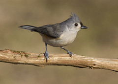 Tufted Titmouse (AllHarts) Tags: tuftedtitmouse backyardbirds memphistn naturesspirit thesunshinegroup sunrays5