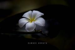 (kumherath) Tags: kumariherathphotography canon5dmark3 sigma150600sports white flower light dark