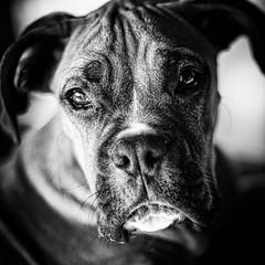 Luigi at f/1.4 (alhawley) Tags: bw pentaxsmctakumar50mmf14 blackandwhite dog fujifilmxt10 monochrome takumar