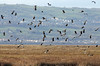 Lapwing Patrol (Roy Lowry) Tags: lapwing vanellusvanellus parkgate flightshot