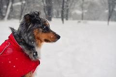 Snowy Days (flashfix) Tags: january022018 2018inphotos ottawa ontario canada nikon d7100 nikond7100 flashfix flashfixphotography 40mm portrait dog animal pet austrailanshepherd triaustrailanshepherd bluemerle tricolour canine sock heterochromia winter snowy outdoors jacket