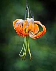 Lantern (MrBlueSky*) Tags: flower petal plant garden horticulture nature outdoor colour kewgardens royalbotanicgardens london pentax pentaxart pentaxlife pentaxk1 pentaxawards pentaxflickraward aficionados