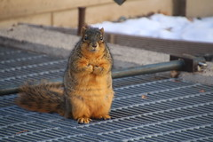 208/365/3495 (January 5, 2018) - Squirrels in Ann Arbor on Yet Another Cold and Snowy Winter's Day at the University of Michigan (January 5th, 2018) (cseeman) Tags: gobluesquirrels squirrels annarbor michigan animal campus universityofmichigan umsquirrels01052018 winter eating peanut januaryumsquirrel umsquirrel snowsquirrels snow snowy cold ice 2018project365coreys yeartenproject365coreys project365 p365cs012018 356project2018