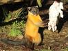 Yellowthroated marter Ouwehands BB2A4132 (j.a.kok) Tags: marter maleisebontemarter yellowthroatedmarter asia azie maleisie malayan animal ouwehands mammal zoogdier dier